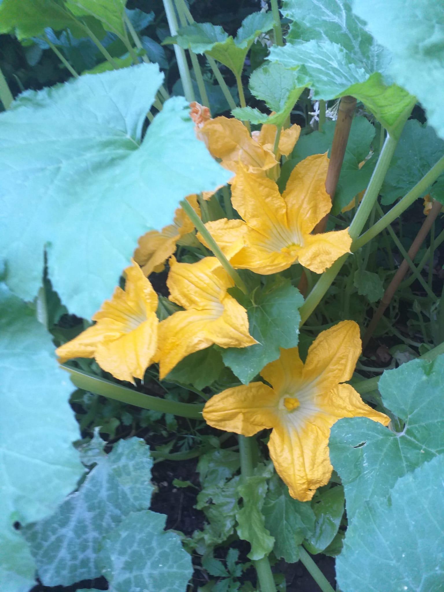 Fiori di zucchina del mio mini orto
